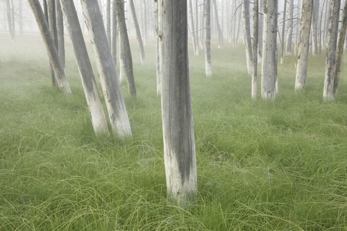 Ghost Trees, Yellowstone