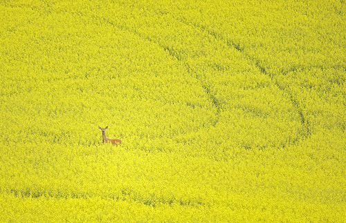 Deer in Canola