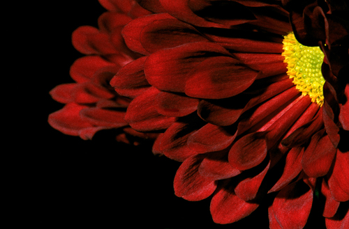 Red-Chrysanthemum
