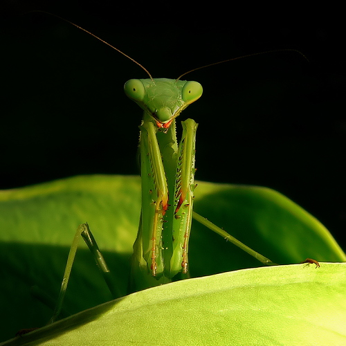 Mantis Smile