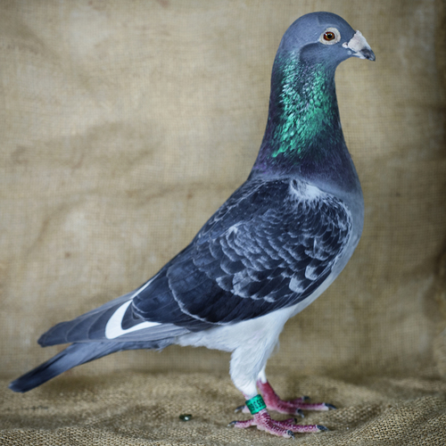 Pride To Be Pigeon