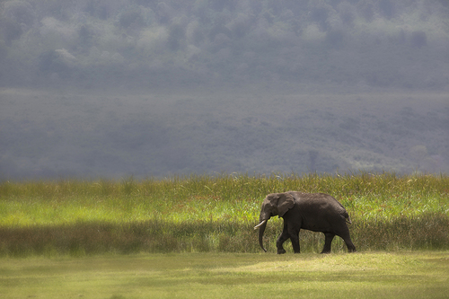 Lone African Elephant