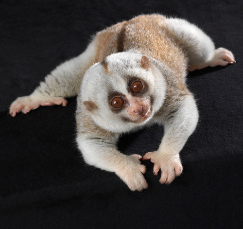 Slow Loris Portrait