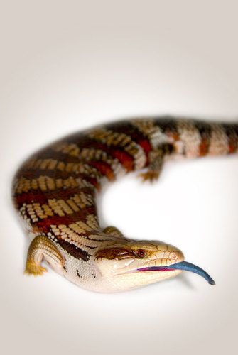 Blue-Tongue Lizard