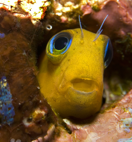 the curious case of benjamin blenny