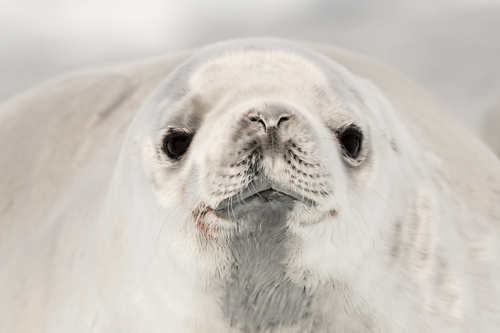 Paradise Crabeater Seal
