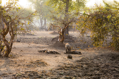 Hyenas in the Bush