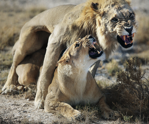 lion love, namibia