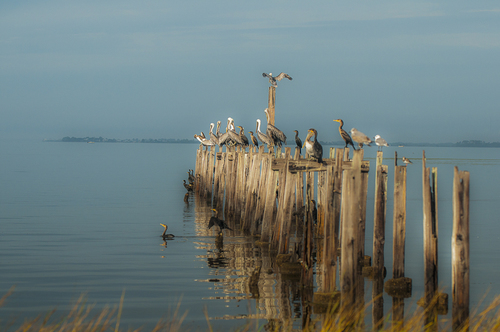 Pelicans at St. Mark's Lighthouse, Appalachee Bay, Florida