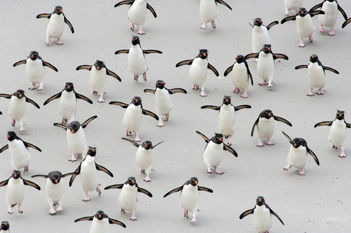 Rockhopper penguins rush hour