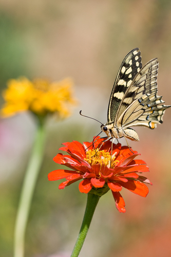 Of butterflies and zinnias