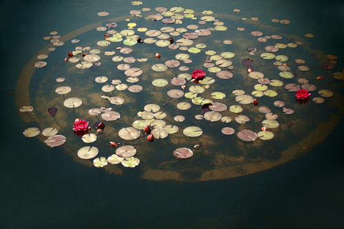 Circle of Water Lilies