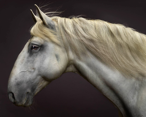 Lusitano Stallion Portrait No.2