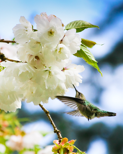 Hummingbird Blossoms