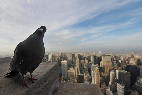 Pigeon on top of the Empire State Building