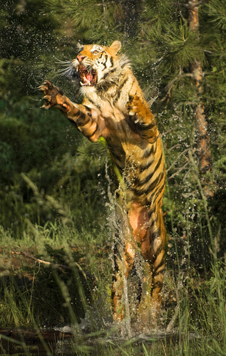 Tiger leaping out of the water