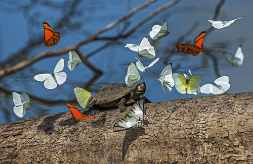 Turtlebutterflies