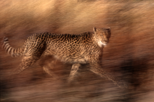 Cheetah in Motion