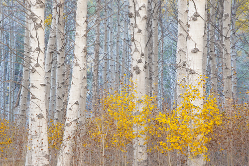 Aspens And The Blue Light
