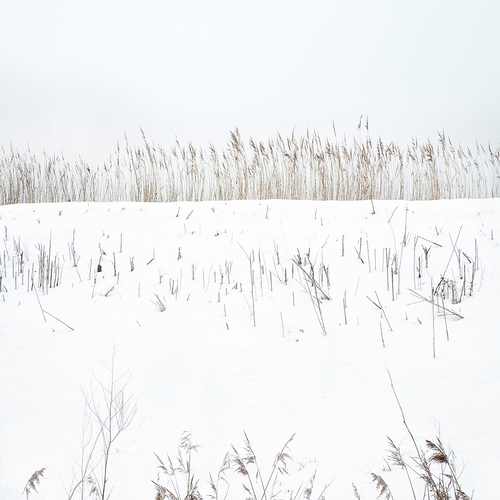 Snow and Reeds