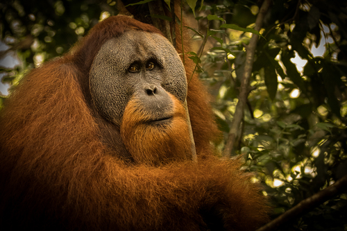 Male orangutan sits in a tree with soulful eyes