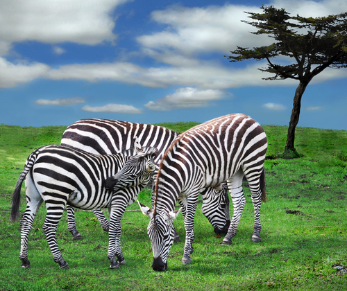 The Zebra Family