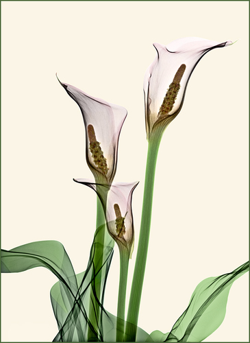 Calla Lillies (1)