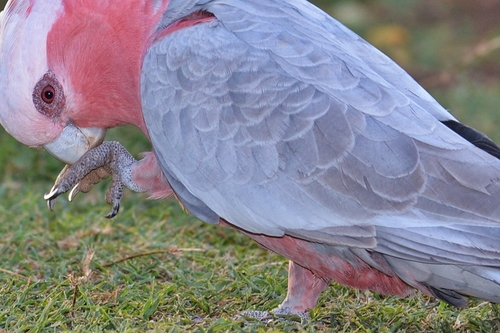Galah in Backyard 2019