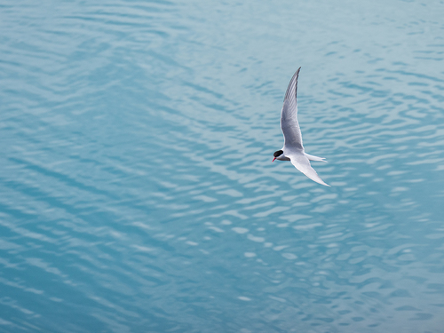 The flight of the arctic tern.