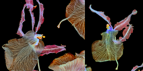 Tiny Dancers Diptych