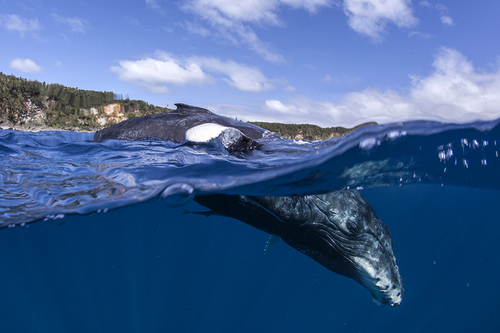 Humpback Calf Over and Under