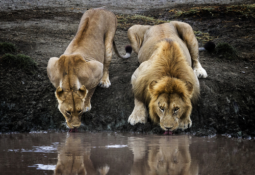Matin Lions Drinking