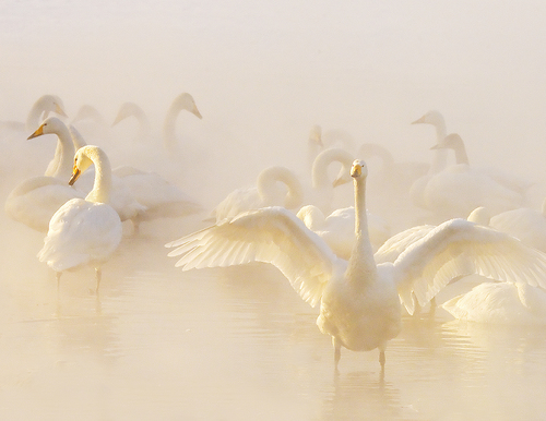 Whooper Swans in Hot Spring on Frozen Lake