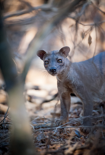 Threatened Wild Fossa