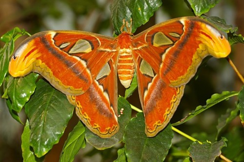 Atlas Moth with Eggs