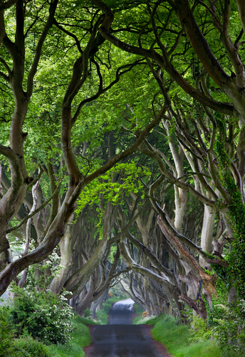 The Dark Hedges, Co. Antrim, N. Ireland