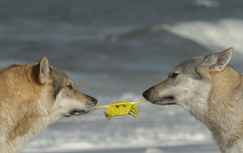 Wolfdogs with their Crab