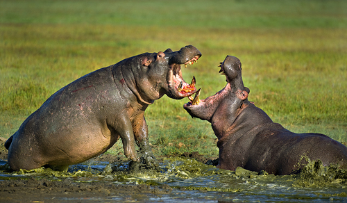 Hippo Mating Fight