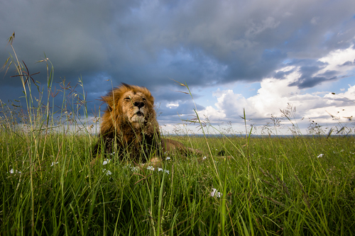 Male Lion in Evening Light