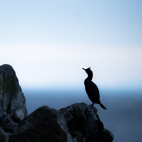 European shag in silhouette