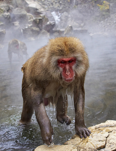 Japanese macaques 2