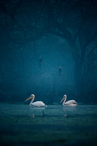 Pelicans and Darters